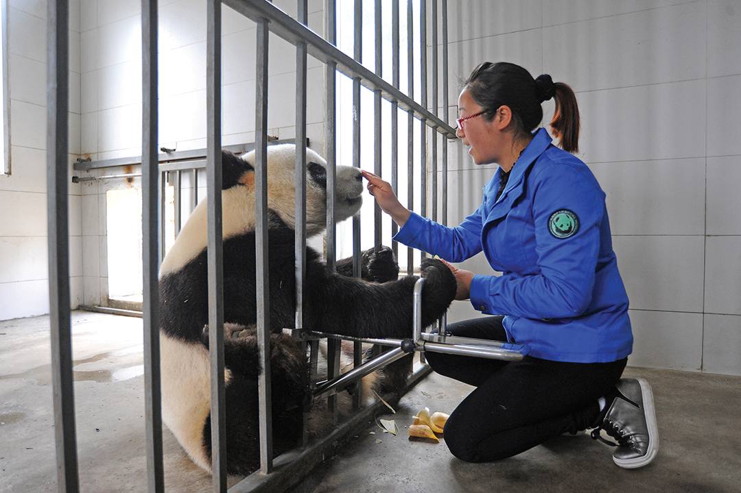 China: Giant Panda No Longer Endangered