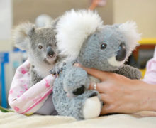 Orphaned baby koala finds fluffy friend