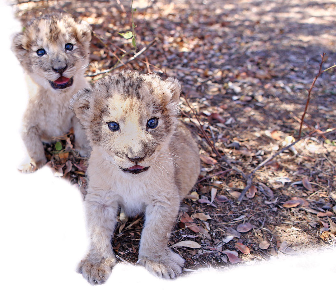 South Africa: Lion-size success