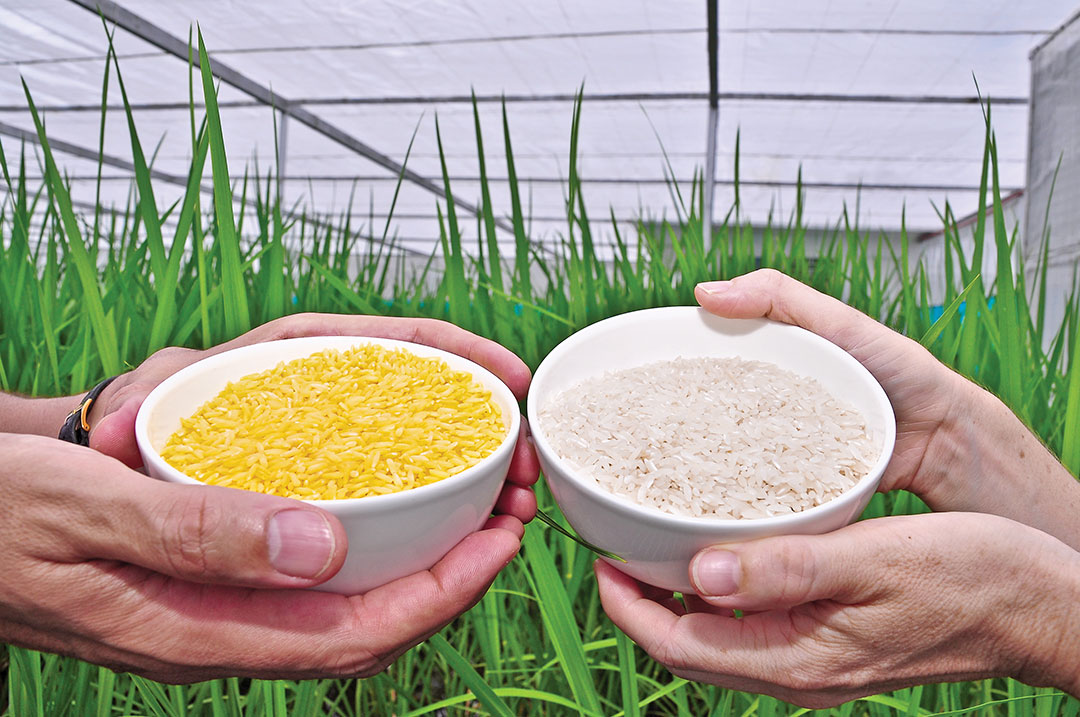 Philippines Approves GMO Rice to Fight Malnutrition
