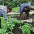 หมู่เกาะแปซิฟิกพยายามชดเชยภาวะขาดแคลนอาหารในช่วงการระบาดครั้งใหญ่